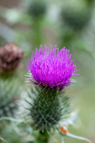 Thistle flower head.