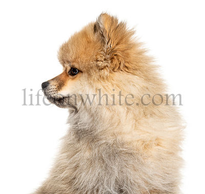 Close-up of a Keeshond looking away, isolated on white