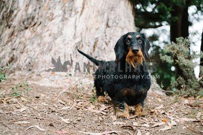 A wirehaired dachshund standing in front of a tree