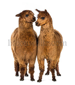 Two Alpacas against white background