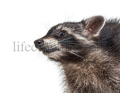 Portrait Side view of a young raccoon with happy expression