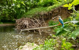 Wide Angle Kingfisher, Yorkshire