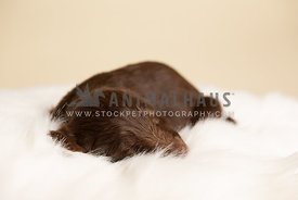 Small brown lab puppy sleeping on white blanket