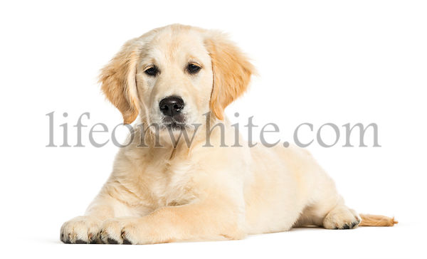 Golden Retriever, 3 months old, lying in front of white background
