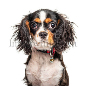 Headshot of a Cavalier King Charles Spaniel, isolated on white