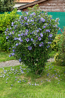 Rose of Sharon (Hibiscus syriacus) in bloom in a garden in summer, Pas de Calais, France ∞ Hibiscus en fleur dans un jardin, ...