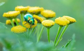 Tansy Beetle, River Ouse, York