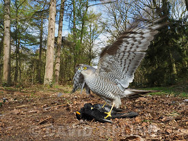 Eurasian Sparrowhawk Accipiter nisus female on male Blackbird North Norfolk winter
