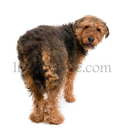 Rear view of Airedale dog, 1 year old, standing