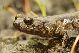 Closeup of the head of a nice colored Aneides ferreus ,  Clouded salamander , on the ground in North California