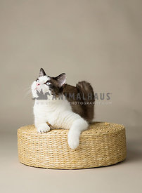Brown and white feline with blue eyes lounges comfortably isolatted on on a tan background in  the studio