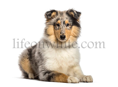 Rough Collie, 4 months old, lying in front of white background