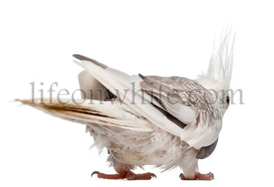 Female Cockatiel, Nymphicus hollandicus, in front of white background