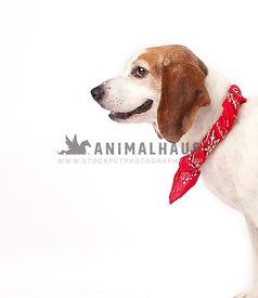 Smiling Beagle mix dog shows profile and leans in to a  white studio background with a red bandana leaving room for text