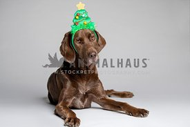 Chocolate lab wearing Christmas tree headband