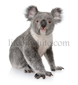 Young koala, Phascolarctos cinereus, 14 months old, sitting