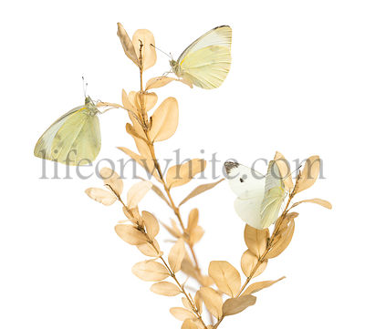 Small White butterflies landed on a plant, Colias philodice, isolated on white