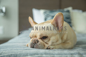 Blonde French bulldog laying on bed.