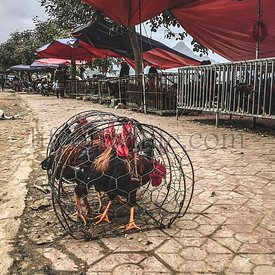 Poultry caged alive on the ground on an asian market, Bac Ha