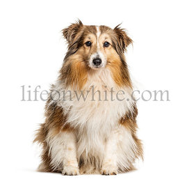 Sitting Shetland Sheepdog, isolated on white