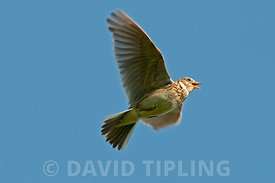 Eurasian Skylark Alauda arvensis in song flight Norfolk spring