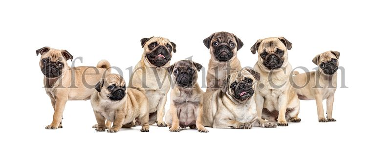 Group of pugs young and adult in a row, isolated on white