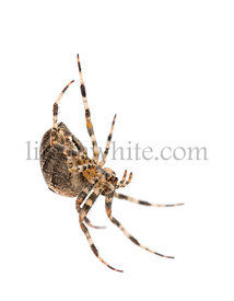 European garden spider, Araneus diadematus, hanging on silk string against white background