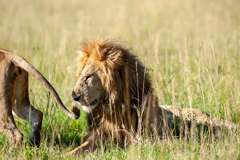 Male Lion - Courtship