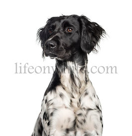 Large Munsterlander, 1 year old, in front of white background