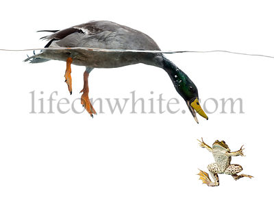 Mallard diving to catch a frog