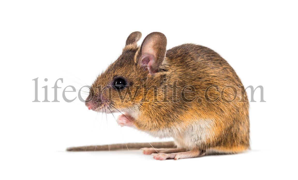 Eurasian mouse, Apodemus species, sitting in front of white background