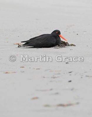 Dark morph Variable Oystercatcher (Black Oystercatcher) (Haematopus unicolor) pretending to be sitting on a nest, Papanui Bay...