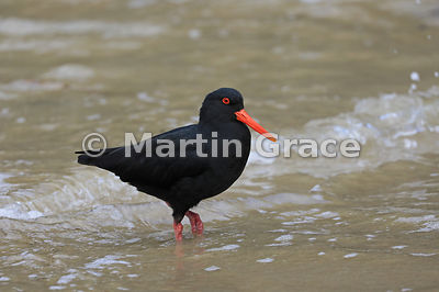 Dark morph Variable Oystercatcher (Black Oystercatcher) (Haematopus unicolor) standing in the edge of the sea, Butterfield Be...