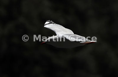 High-contrast image of a Red-Billed Gull (Larus novaehollandiae scopulinus) in flight against a dark background, Doubtful Sou...