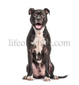 Sitting and panting American Staffordshire Terrier dog, isolated on white