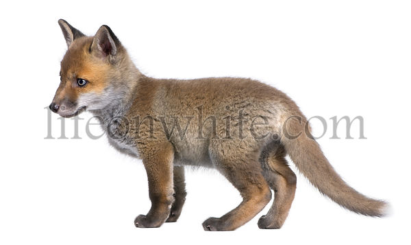 Red fox cub (6 Weeks old) - Vulpes vulpes
