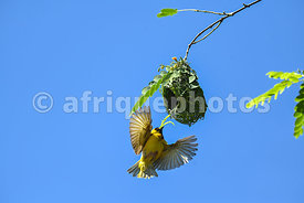 Cape Weaver building his nest