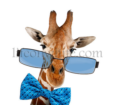Close up of a Somali Giraffe wearing sunglasses, isolated on white