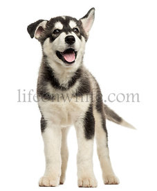 Husky malamute standing, panting, isolated on white
