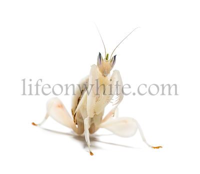 Young orchid mantis, Hymenopus coronatus, in front of white background