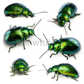 Composition of Leaf beetles, Chrysomelinae, in front of white background