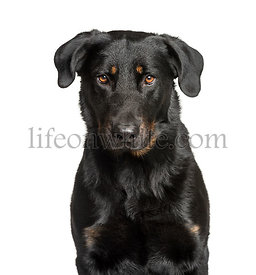 Cloe-up of a Beauceron against white background