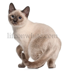 Thai kitten, 4 months old, standing in front of white background