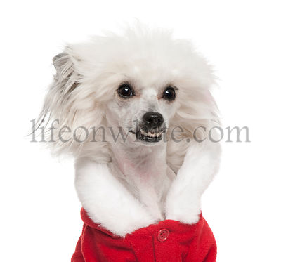 Close-up of Chinese Crested Dog wearing Santa outfit, 1 year old, in front of white background