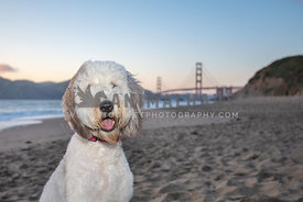 close up of smiling large sheepadoodle with Golden Gate Bridge in the background