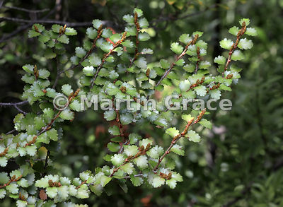 Leaves of Silver Beech (Nothofagus menziesii), Governor's Bush Track, Mount Cook National Park, Canterbury, South Island, New...