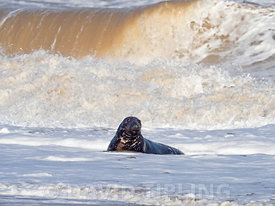 Grey Seal  Halichoerus grypus  in surf North Norfolk January