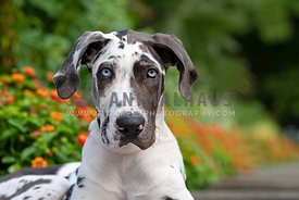 close up of blue eyed 4 month old harlequin great dane puppy