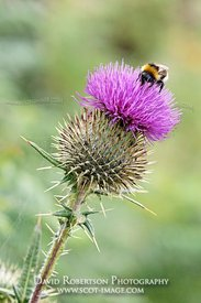 Image - Cotton Thistle, Onopordon acanthium, With feeding buff-tailed bumblebee