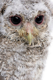 Close-up of Baby Little Owl, 4 weeks old, Athene noctua, in front of a white background
